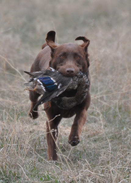 Harper, a chocolate Lab owned by Deah TeKrony of Watertown, retrieves a duck during the Jim River Hunting Retriever Clubs field-day event.