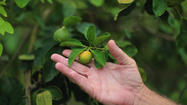 Scientists search citrus trees for insect