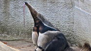 "<span style=""font-size: small;"">GREENWICH, Conn. (AP) — An anteater has given birth at a Connecticut conservation center, prompting officials there to wonder how the mother conceived.</span>"