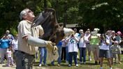 Bald Eagle Released