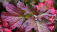 Look beyond spring when choosing shrubs