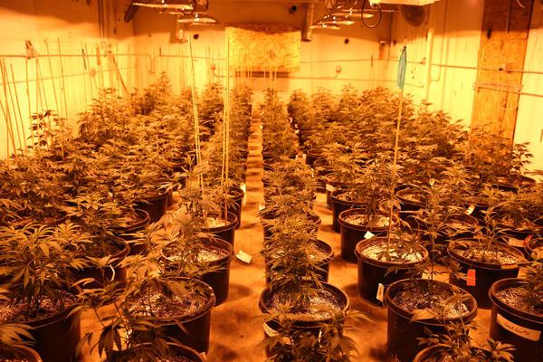 Juvenile medical marijuana plants are illuminated by artificial lights in a vegetative room Wednesday, May 15, 2013 at River Rock Medical Marijuana Center in Denver.
