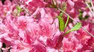 Just a pinch at right time will help rhododendrons