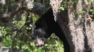 Black bear in tree in Tampa