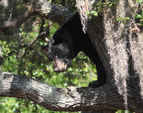 This black bear was spotted atop a tree in Tampa on Friday, May 17, 2013.