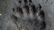Contrary to rumors, Bigfoot was not shot and killed this week in Somerset County.