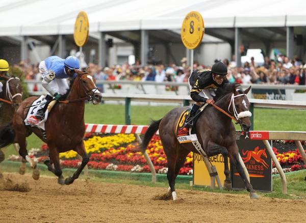 Gary Stevens aboard Oxbow (6) leads the pack heading into the first turn during the 138th running of the Preakness Stakes at Pimlico race course.