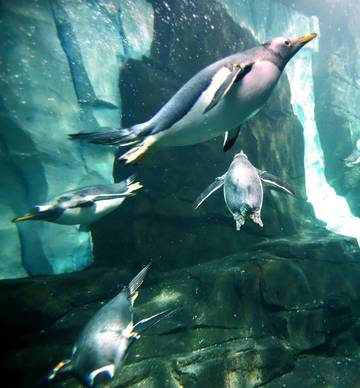 "Penguins acclimate to their new habitat at the ""Antarctica: Empire of the Penguins"" attraction, during an exclusive preview, Wednesday, May 15, 2013. The attraction is scheduled to open Friday, May 24."