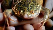 African clawed frogs were first brought to California decades ago to help doctors figure out whether their patients were pregnant. After new technology made those pregnancy tests obsolete, the creatures were let loose, and thrived for decades in the state's drainage ditches and ponds.