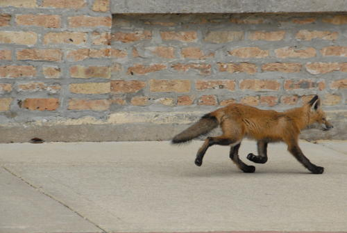 Fox trotting down Center Street, Grayslake IL, 5/17/13
