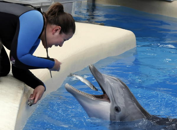 Trainer Mairim Martinez tosses a fish treat to Allie after the 26-year-old mother-to-be's ultrasound exam at the Brookfield Zoo.