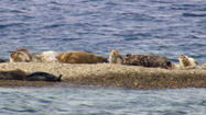 "Last week, <a href=""#"" data-topic-id=""ORGOV0000246"">National Marine Fisheries Service</a> officials made the decision to consider listing a harbor seal population in Lake Iliamna as endangered or threatened--yet another piece of wood on the controversial fire that is the Pebble Mine project."