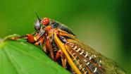 They've been waiting underground for 17 years, and now cicadas are emerging en masse to take over the eastern half of the United States.
