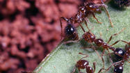 Could secret of nasty fire ant tunnels help design rescue robots?