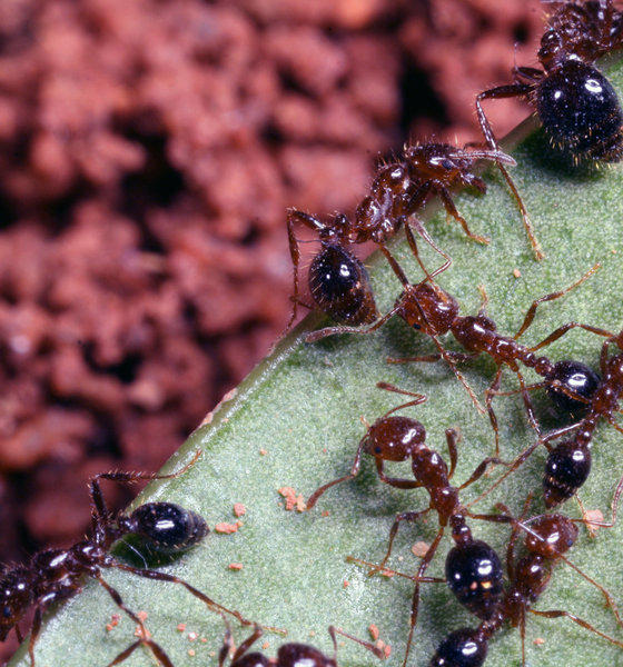Fire ants (Solenopsis invicta) construct and live within subterranean tunnels. The fire ants' antennae, which are used for communication, can also be used as limb-like appendages to rapidly arrest slips.