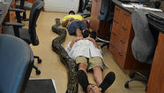 A record-setting Burmese python nearly 19 feet in length was captured and killed in a rural part of Miami-Dade County, officials announced this week.