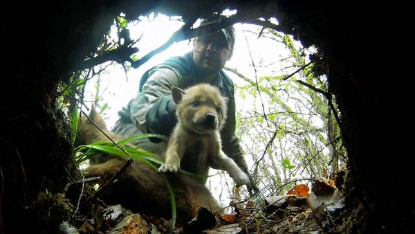 In an image from a video camera placed inside a coyote den, Mike Neri, a wildlife wildlife biologist for the Forest Preserve District of Cook County, returns a pup after examinations.