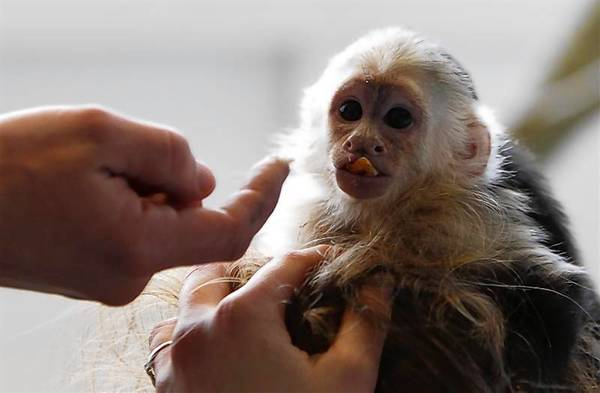 The pet monkey of Justin Bieber is seen in an animal home in Munich.