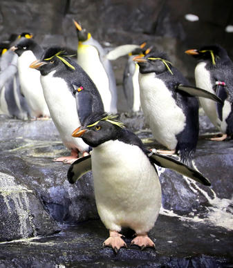 "Penguins acclimate to their new habitat at the ""Antarctica: Empire of the Penguins"" attraction, during an Orlando Sentinel exclusive first-look preview, Wednesday, May 15, 2013. The attraction is scheduled to open Friday, May 24.  (Joe Burbank/Orlando Sentinel)"