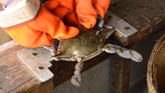 How to size crabs [Video]