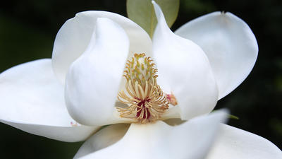 Magnolia Flower Bloom