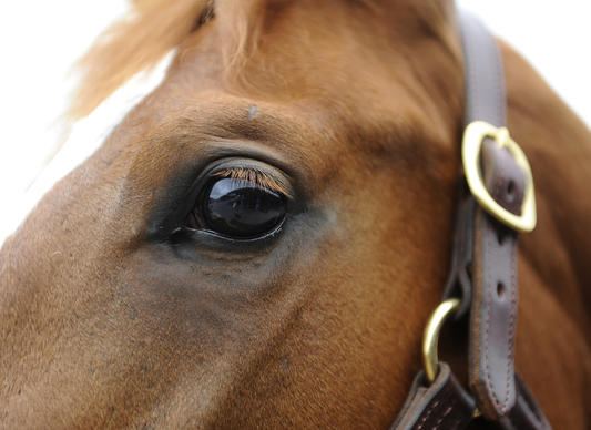 This is a detail of the face of a chestnut filly who was brought to the Fasig-Tipton Midatlantic Two-Year-Olds in Training auction which was held at the Maryland state fairgrounds. She came from Boutte Training and Sales in Ocala FL and was purchased by Linda Walls of Cleveland OH for $43,000.