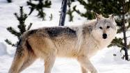 Wolves in U.S. won't lose protections -- for now