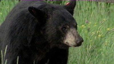 Conservation officials confirm black bear sighting in Monett city limits