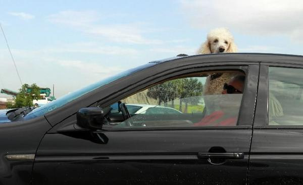 During a break in the rain, a woman and her dog (sticking out of the sunroof) wait for a light to change on Federal Highway in Fort Lauderdale on Wednesday, May 22, 2013.