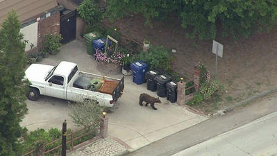 Video: Bear roams Sun Valley neighborhood, spooking horses