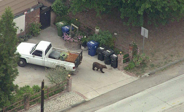 A bear roams a Sun Valley neighborhood Wednesday in a view from a KTLA-TV helicopter.