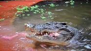 AUSTRALIA-CROCODILE-BIRTHDAY