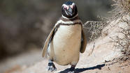 A Lecture on the Penguins of Argentina at Bridgeport's Beardsley Zoo