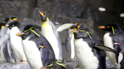 Little Puck steals show in SeaWorld's new wild ride to Antarctica