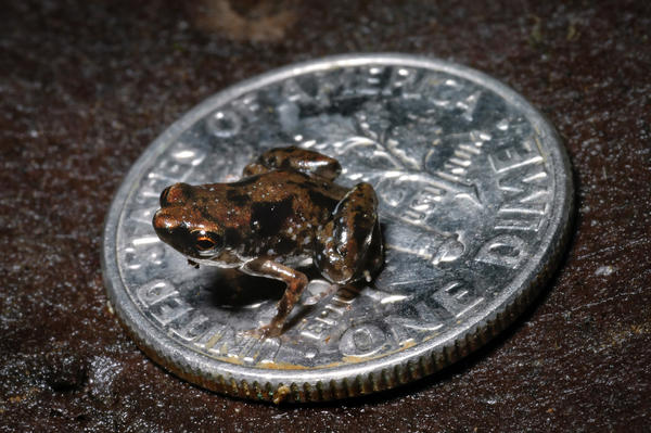 This frog, Paedophryne amanuensis, is the smallest known vertebrate on Earth (adults are only 7.7 millimeters long, on average). The species was officially described last year.