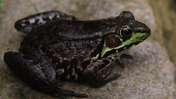 Study points to amphibian decline [Video]