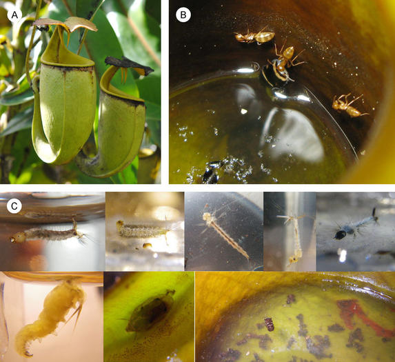 Ants and carnivorous plants conspire for survival