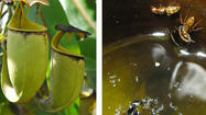 Fanged, carnivorous plant pals up with swimming ants