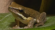 Study: Amphibians disappearing at alarming rate