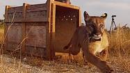 Florida panther siblings released into wild