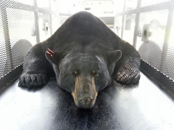 A 620-pound bear, the largest Florida black bear ever captured, was trapped in Lake County and then released Thursday, May 23, 2013.
