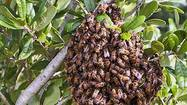 We've entered swarm season for Africanized honey bees, as colonies split and clouds of the winged insects roam South Florida in search of new nesting sites.