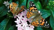 Major butterfly exhibit opening in Arizona
