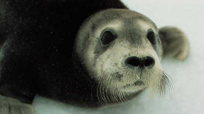 Oil and Gas Group Sues over Bearded Seal Listing