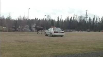 APD Cruiser Escorts Moose off Field at Service High