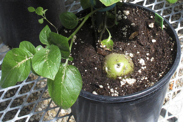 A genetically engineered potato poking through the soil of a planting pot inside a lab in southwestern Idaho.