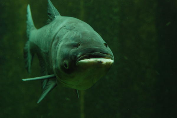 A bighead carp swims in an exhibit at the John G. Shedd Aquarium in Chicago.
