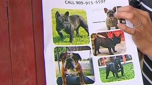 Bulldogs stolen from family's yard twice in three months