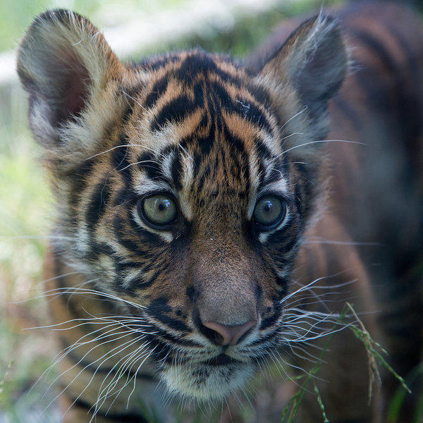 Newly named tiger cub Jillian.