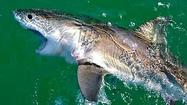Great white sharks: Danger or endangered?